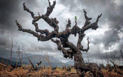 The Old Vine Project: the wise wines